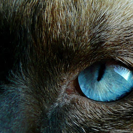 Blue Eyes by Zec Mladen - Animals - Cats Portraits ( cat, cat eyes, cat portrait, blue eyes, siamese cat )