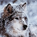 Wonderful Wolf Live Wallpaper icon