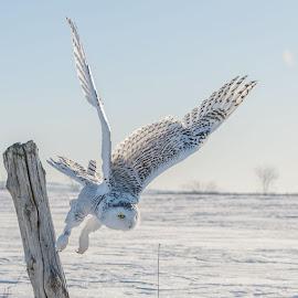 Snowy Owl by Rose Knott - Animals Birds (  )