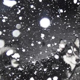 Aurora Night Snow Walk 9:30 February 27th, 2013 by Diana Fay - Animals - Dogs Portraits