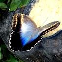 Caligo eurilochus brasiliensis, mariposa buho, Owl butterfly, borboleta