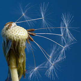 Dandelion seeds by Ioan Todor - Nature Up Close Other plants ( dandelion seeds close closeup details macro )