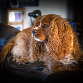 Roxie by Roger Bourland - Animals - Dogs Portraits ( king charles, cavalier king charles spaniel, red dog, dog, kcc )