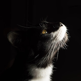 All Dressed Up by Sara Ascalon - Animals - Cats Portraits ( cat, b&w, tuxedo, black and white, feline, mammal, felid, domestic shorthair cat, domestic cat )
