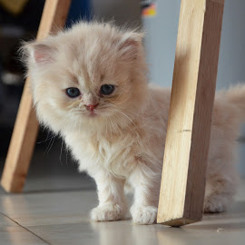 Burmese Kitten by Tom Dahlqvist - Animals - Cats Kittens ( baby, young, animal )
