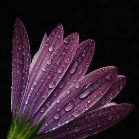 bubbles by Rui Medeiros - Flowers Single Flower ( single flower, flowers,  )