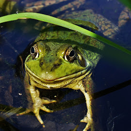 Lord of the Pond by Thomas Barr - Animals Amphibians