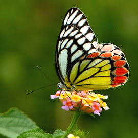 Butterfly--4 by Arnab Nandi - Animals Insects & Spiders ( butterfly, nature, candit, insect, animal, butterfy )