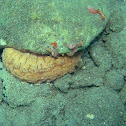 Three-rowed Sea Cucumber