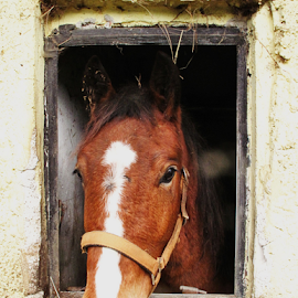 view through window by Nikola Hrzenjak - Animals Horses ( hors, window )