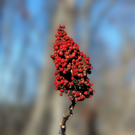 Dried wild berries by Dipali S - Nature Up Close Other plants ( plant, wild, red, winter, nature, flora, berries )