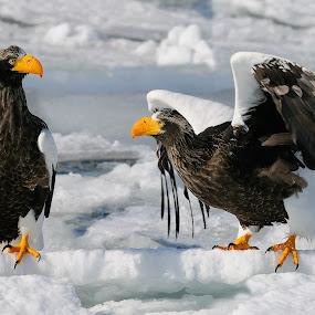 Outta My Way by Harry Eggens - Animals Birds ( bird, eagle, haliaeetus pelagicus, stellers-sea-eagle, raptor, animal )