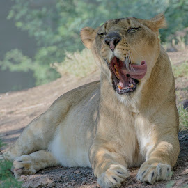 Lioness by Lisa Coletto - Animals Lions, Tigers & Big Cats ( lioness, sleeping, feline )