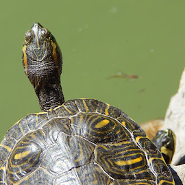 by Marijan Alaniz - Animals Reptiles (  )