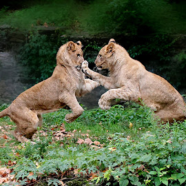 A Right Jab to the Nose by John Larson - Animals Lions, Tigers & Big Cats