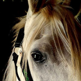 by Hazel Malmede - Animals Horses (  )