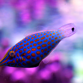 Blue and Orange Fish by Jose Matutina - Animals Fish ( blue, fish, aquarium )