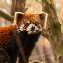 Red Panda by Kalyan Peri - Animals Other Mammals ( animals; mammals; telephoto; wild-life; canon )
