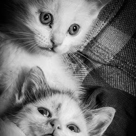Brother and Sister by Clayton Glover - Animals - Cats Kittens