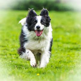 Pet Dog running In Field by Adrian Miller - Animals - Dogs Running ( collie, play, runnin, dog )