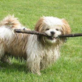 Jakes latest treasure! by Celia Sillars - Animals - Dogs Playing ( mud, shih tzu, fun )