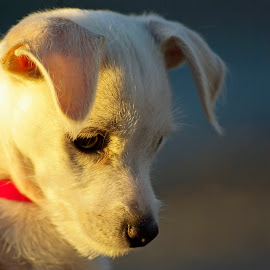 by Giselle Pierce - Animals - Dogs Puppies ( puppies, fur, ears, puppy, dog, hair, nose )