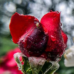 by Gabriela Gabriella - Flowers Flower Buds ( rose, roses )