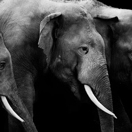 In a different light ! by Wrik Laha - Animals Other Mammals ( elephants, wild, monochrome, herd, forest, india, group, monotone, nikon )