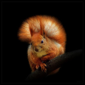 Squirrel on black by Valentyn Kolesnyk - Animals Other Mammals ( fluffy, red, art, beautiful, squirrel )