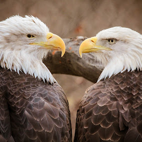 Eagle Eye's by Christine Weaver-Cimala - Animals Birds ( bird, bird of prey, eagle, wings, potter park, bald eagle, endangered, feathers, animal, magestic,  )