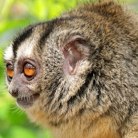 Douroucouli Monkey by Ralph Harvey - Animals Other Mammals ( wildlife, ralph harvey, monkey, marwell zoo, animal )