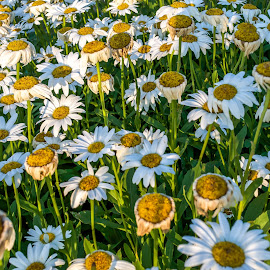 Dasies by Erin Mahoney - Nature Up Close Gardens & Produce ( nature, green, dasies, flowers, garden )