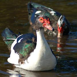 Muscovy Cross by Philip Molyneux - Animals Birds ( bird, water, nature, swim, duck,  )