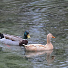 Buff Duck
