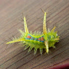 Limacodid Moth Caterpillar,