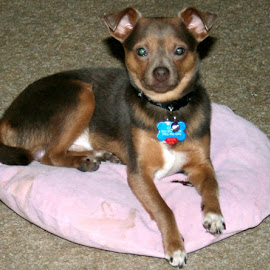 proudly posing by Debbie Theobald - Animals - Dogs Portraits ( dogs, pets, puppy, chihuahua, service animals,  )