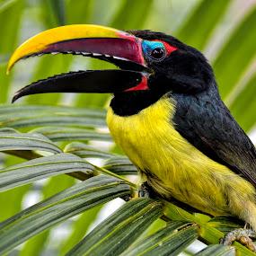 Toucan by Paulus Soegriemsingh - Animals Birds (  )