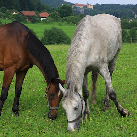 Grazing horses by Charles KAVYS - Animals Horses ( cesky raj, gross rock, forest, castle, grazing horses )