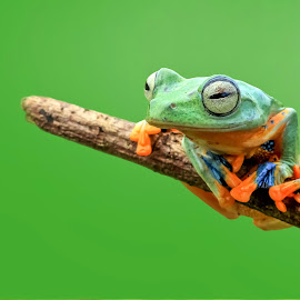Flyingfrog by Hendri  kus - Animals Amphibians ( #photography )