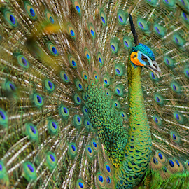 Pavo Muticus by Abdy Photoworks - Animals Birds