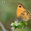 Cretan Small Heath