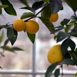 Lemon Tree by Brianna Faulkner - Nature Up Close Gardens & Produce ( lemons, fruit, nature, windows, botanical gardens )