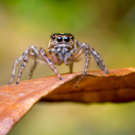 Jumping Jack by Percy (ReverseLensOnlyMacroPhotography) - Animals Insects & Spiders