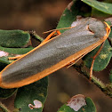 Footman Moth