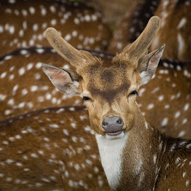 deer smiling by Heri Budianto - Animals Other Mammals