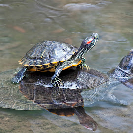 Red Eared Turtle Piggyback by Michael Waller - Animals Other ( turtles,  )