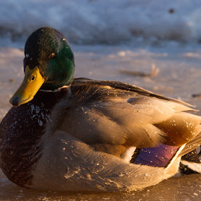 Colvert by Thierry Madère - Animals Birds ( canard, cold, ice, duck, glace, froid )