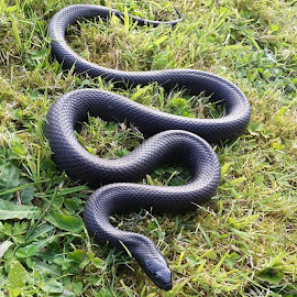 by Michelle Clarke - Animals Reptiles ( picoftheday, photooftheday, nature, natural, snake, snakes, reptile, reptiles, mexicanblack, kingsnake, slither, slithering, outside, fun )