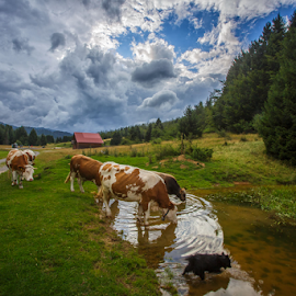 Thirsty cows by Stanislav Horacek - Landscapes Prairies, Meadows & Fields