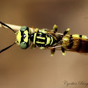 Pacific Burrowing Wasp